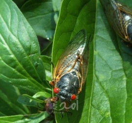 حشرة تختبئ في باطن الأرض منذ 17 عاما تهاجم الولايات المتحدة - فيديو