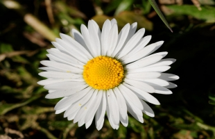 علماء يتوصلون لنوع زهور يزيل السموم العالقة بالهواء
