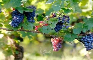 الزراعة: 70% من الأراضي المزروعة بالعنب موجودة في الخليل