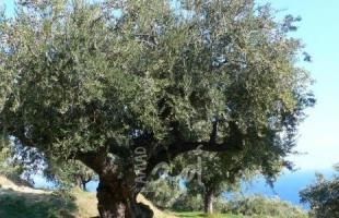 الخليل: مستوطنون يحطمون عشرات اشجار الزيتون شرق يطا