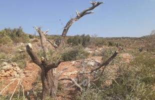 قوات الاحتلال تقمع  المشاركين بفعالية لزراعة أشجار الزيتون شرق طوباس