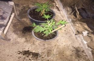 شرطة أريحا تضبط مشتلاً وحاضنة لاستنبات المخدرات