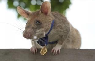فأر يفور بأعلى جائزة للشجاعة في العالم