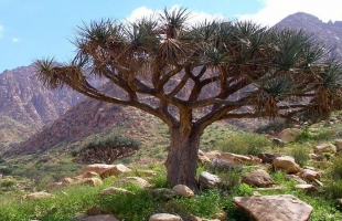 أشجار للعلاج لا توجد إلا في حلايب