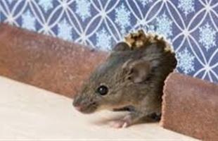 فأر  يحقق 3 مليون مشاهدة على تيك توك