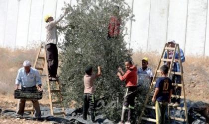 الزراعة: انخفاض إنتاج الزيتون للموسم الحالي بنسبة 65% بغزة