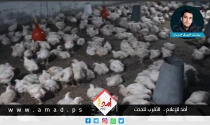 غزة: مباحث التموين تُتلف 935 كجم دجاج مجمد