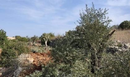 قوات الاحتلال تجرف أراضٍ وتقتلع أشجار الزيتون جنوب بيت لحم