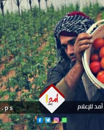 """القدرة يكشف لـ""""أمد"""" أسباب ارتفاع أسعار البندورة في قطاع غزة"""